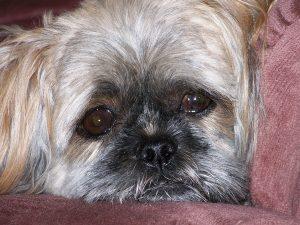 pourquoi mon chien pleure sans cesse