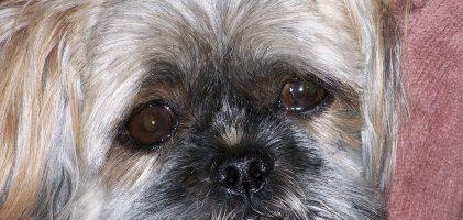 Pourquoi mon chien… Pleure ?